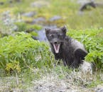 A yawning Arctic Fox in its summer coat in the Westfjords.