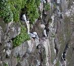 W Hornvík znajdziesz wiele ptasich gniazd, w trakcie lata na Islandii
