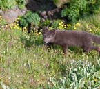 Arctic foxes are common in the Westfjords due to the wealth of eggs on the sea cliffs in summer.