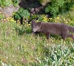 Les renards arctiques sont communs dans les fjords de l'ouest en raison de la richesse des œufs sur les falaises de la mer en été.
