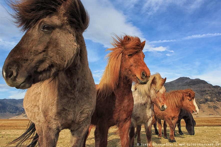 A gang of Icelandic horses relax in the sun.