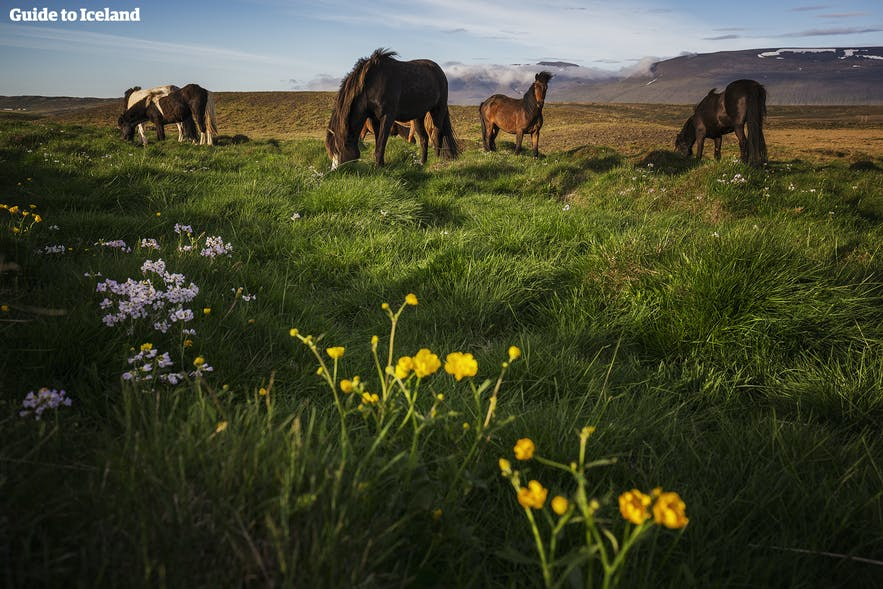 Islandzkie konie pasące się na kwitnącej łące