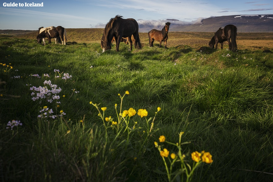 Kombiner turen din langs Den gylne sirkel med hesteriding