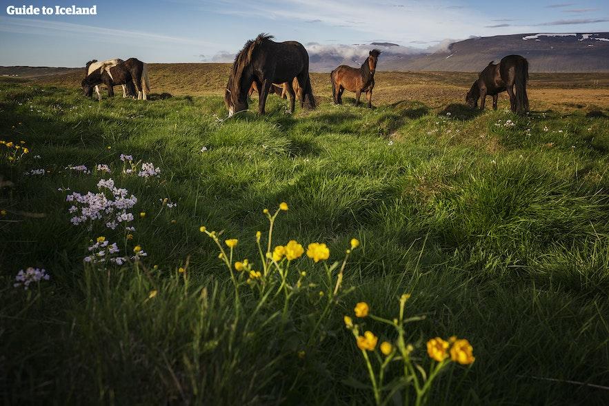 Hesteridning på Island under midnattssolen