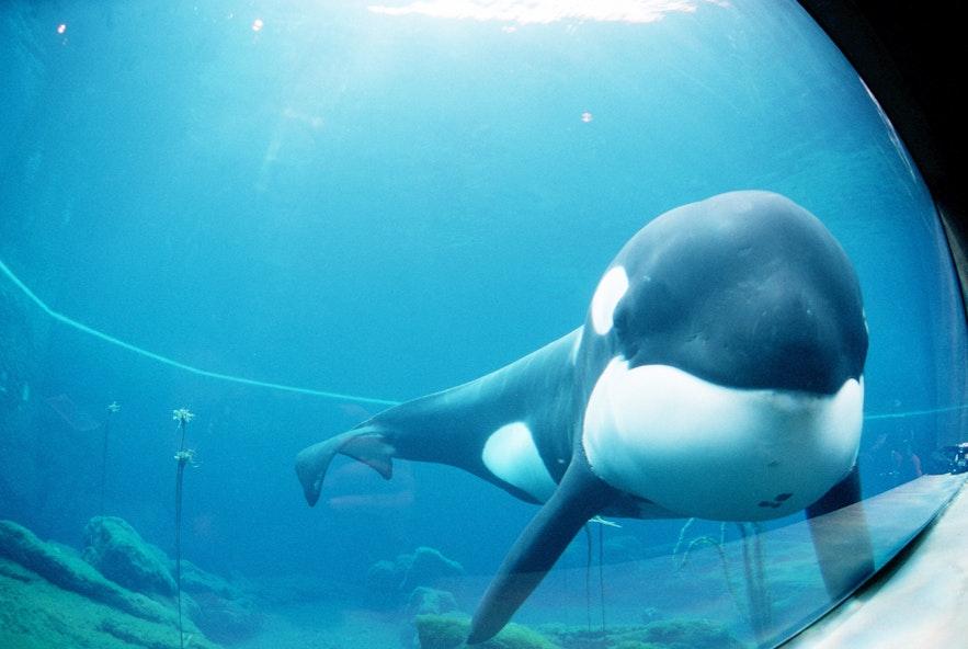 Keiko on 这是拍摄于1998年12月1日的虎鲸Keiko。摄影师不详。来源:Wikimedia Creative Commons.