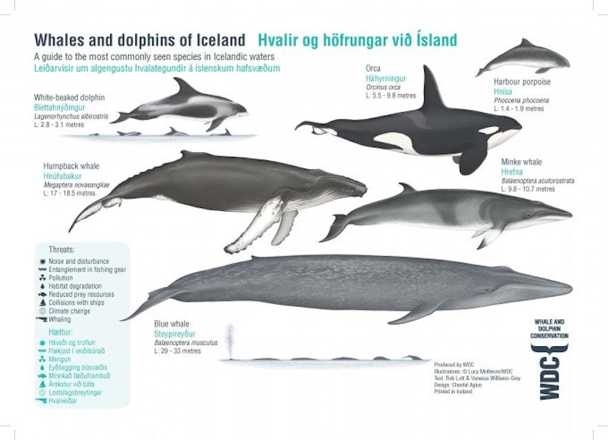 Hvalartene som finnes i islandske farvann.