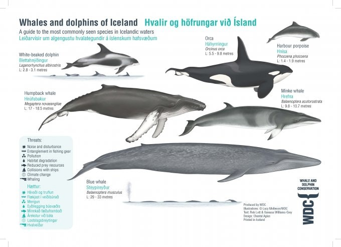 Type of whales around Iceland