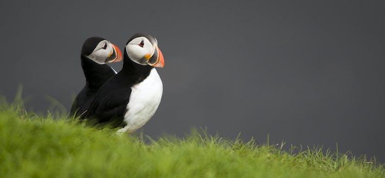 アイスランドと思うなら、パフィンを思い浮かぶ