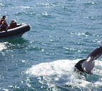 No tour in the world will provide you with an opportunity to get closer to whales than this express tour from Akureyri.