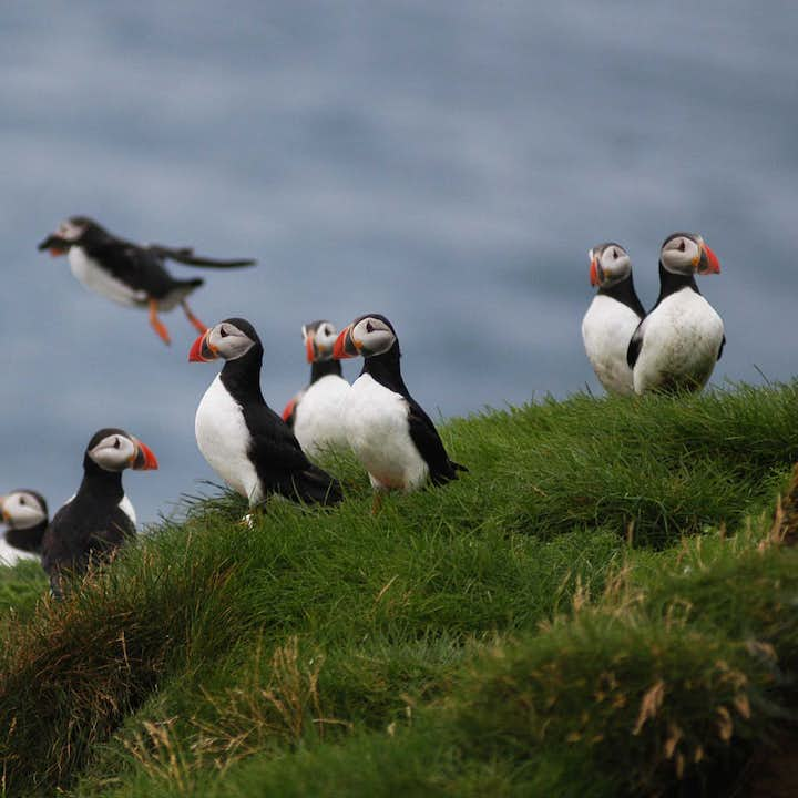 Atlantic Puffins can be seen on Iceland's islands and along its coasts from May to September.