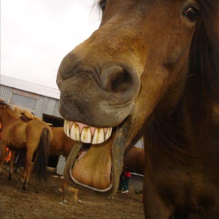 Islandshästar är keliga och vänliga och älskar att bli klappade på mulen.