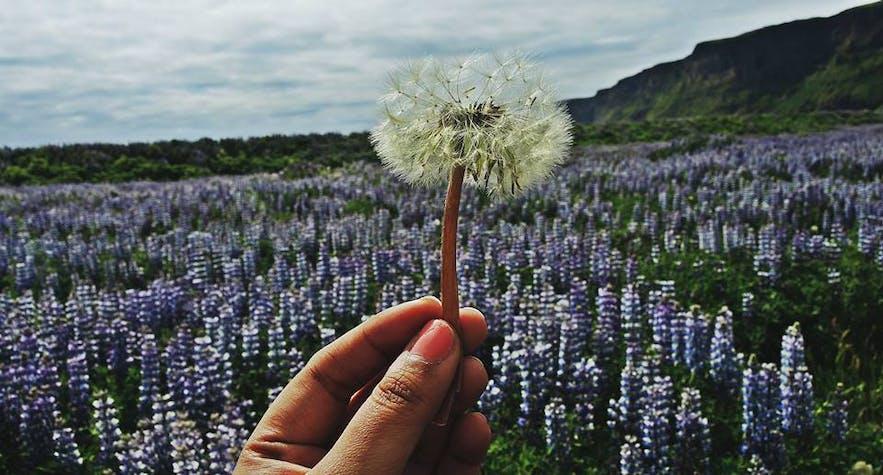 Pola łubinu na Islandii