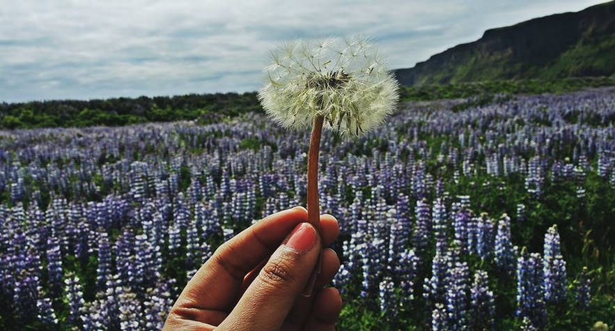 Dandelion fluff and a field of lupines in Iceland in June