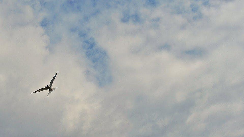 The Arctic Tern, Kría, in Icelandic June sky