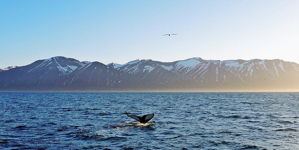 Whale watching in north Iceland in June