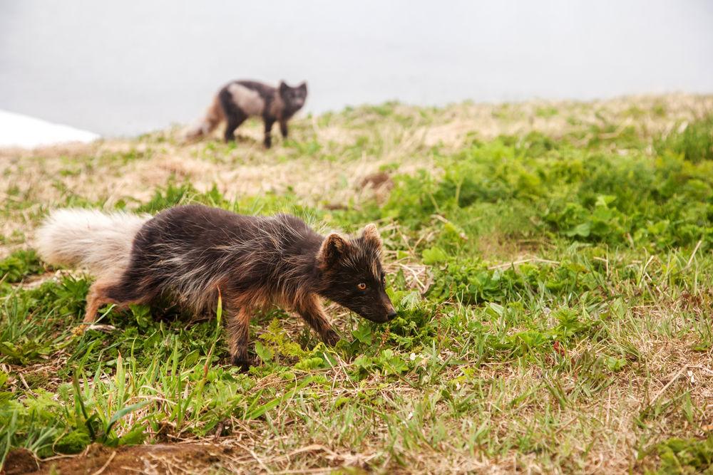 จิ้งจอกอาร์กติกคู่หนึ่งกำลังสูดดมกลิ่นบนทุ่งหญ้าในฟยอร์ดตะวันตก