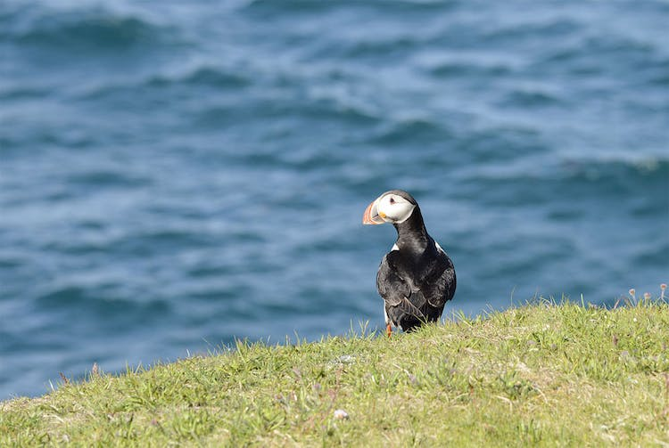 Puffins nest in Hornstrandir and other parts of the Westfjords from May to September.