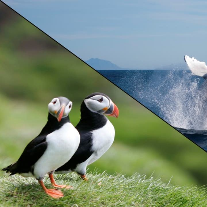 Whales & Puffins are two of Iceland's most recognisable residents.