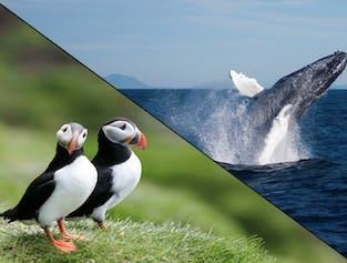 Whales & Puffins