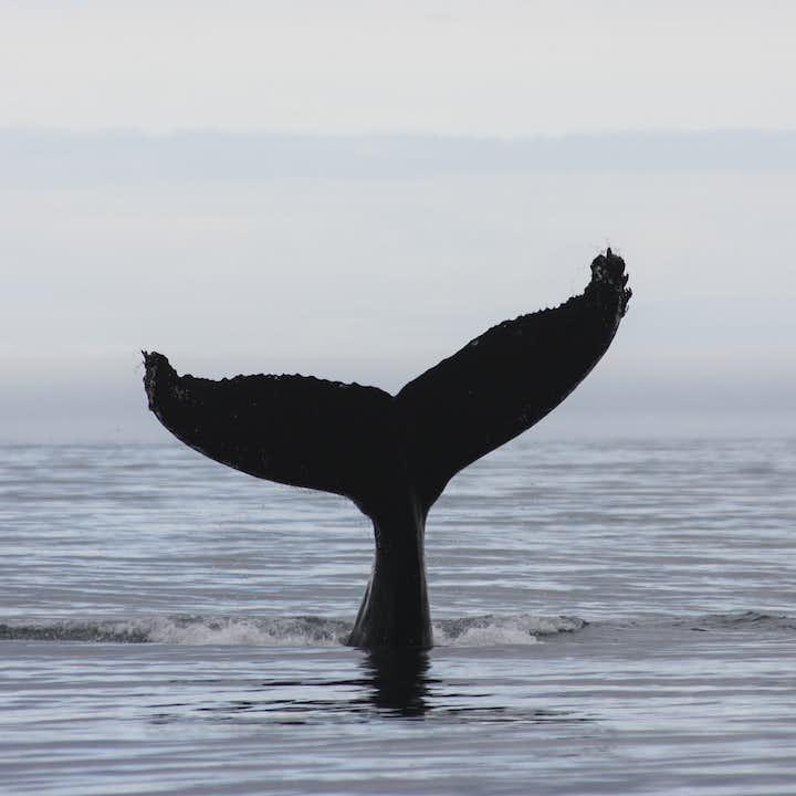 阿克雷里快艇观鲸、观海鹦船游
