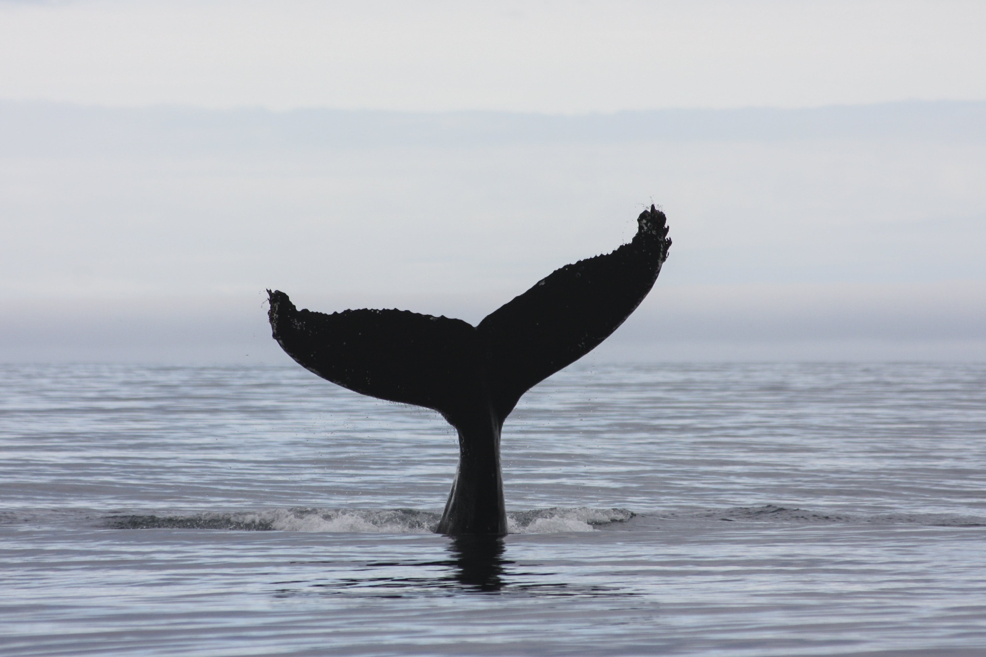 Whale Watching & Bird Watching at Eyjafjordur