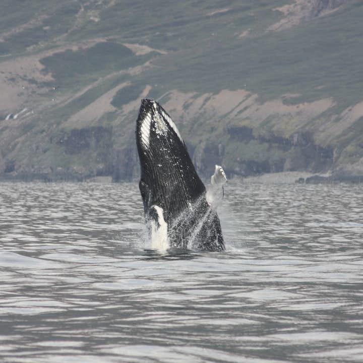 A Humpback Whale breaching in Eyjafjörður, revealing every throat groove.