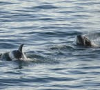 Harbour Porpoises and White-Beaked Dolphins are two very common species seen in Faxaflói Bay, and all around Iceland.