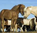 Icelandic horses have very strong social bonds between each other.