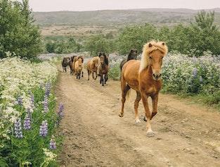 Horseback Riding in the Lava Fields