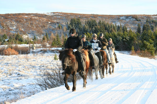 Going on a riding tour during winter in Iceland means the horses are sporting their thick, fluffy coats.