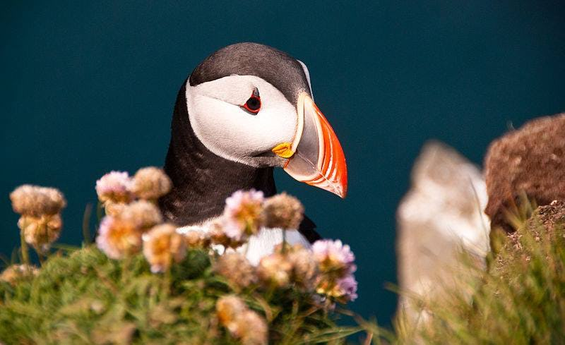 The Atlantic Puffins nest on Grimsey