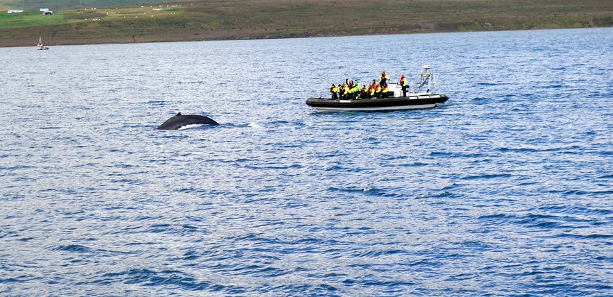 Humpback Whales in Abundance on a Whale Watching Tour from Akureyri in North-Iceland