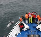 Many species of whale can be spotted on a whale watching tour from Iceland's capital Reykjavík