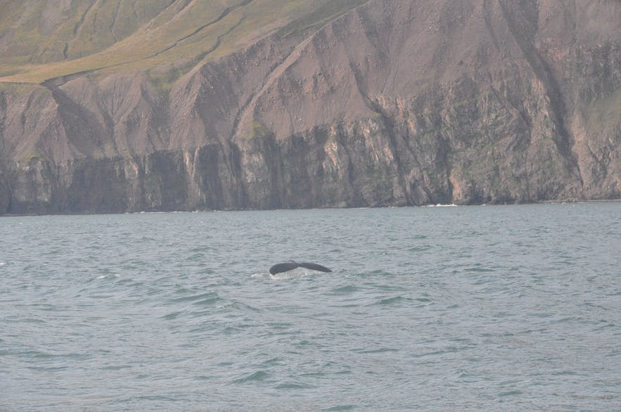 Whale watching with North Sailing in Húsavík
