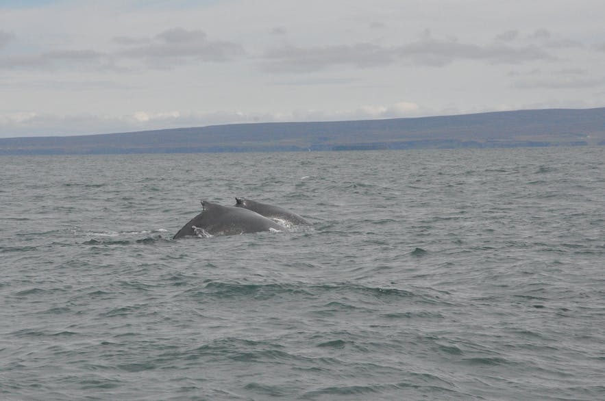 Two humpback whales on a whale watching from Húsavík