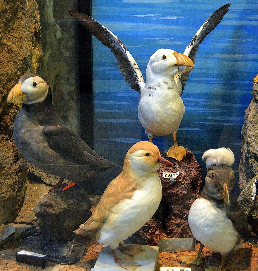Different types of puffins at Sæheimar museum