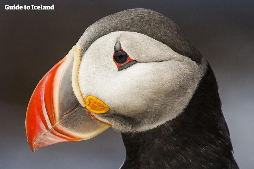 冰岛的许多海鹦puffin纪念品店都是销售中国制造的非本土纪念品