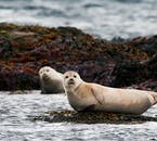 There are many seal colonies situated around the Ring Road of Iceland.