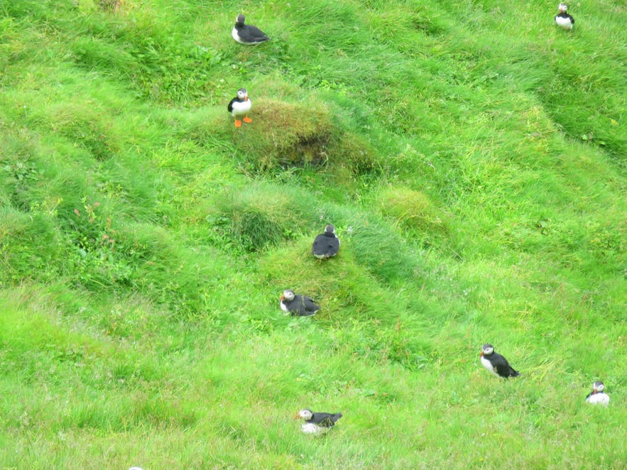Puffins in the Westman islands