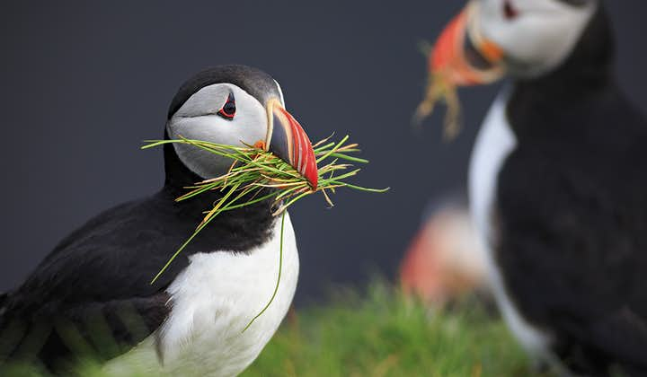 Puffins can reach flight speeds of 48 to 55 mph (77 to 88 km/hr).