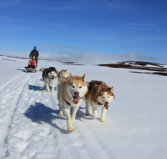 Chien de traîneau vers Myvatn   Nord de l'Islande