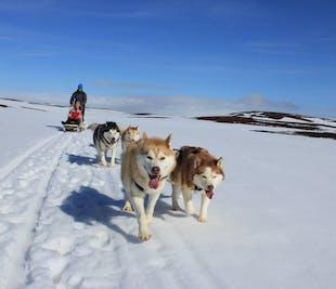 Husky Schlitten-Tour | Hundeschlittenfahrt bei Mývatn