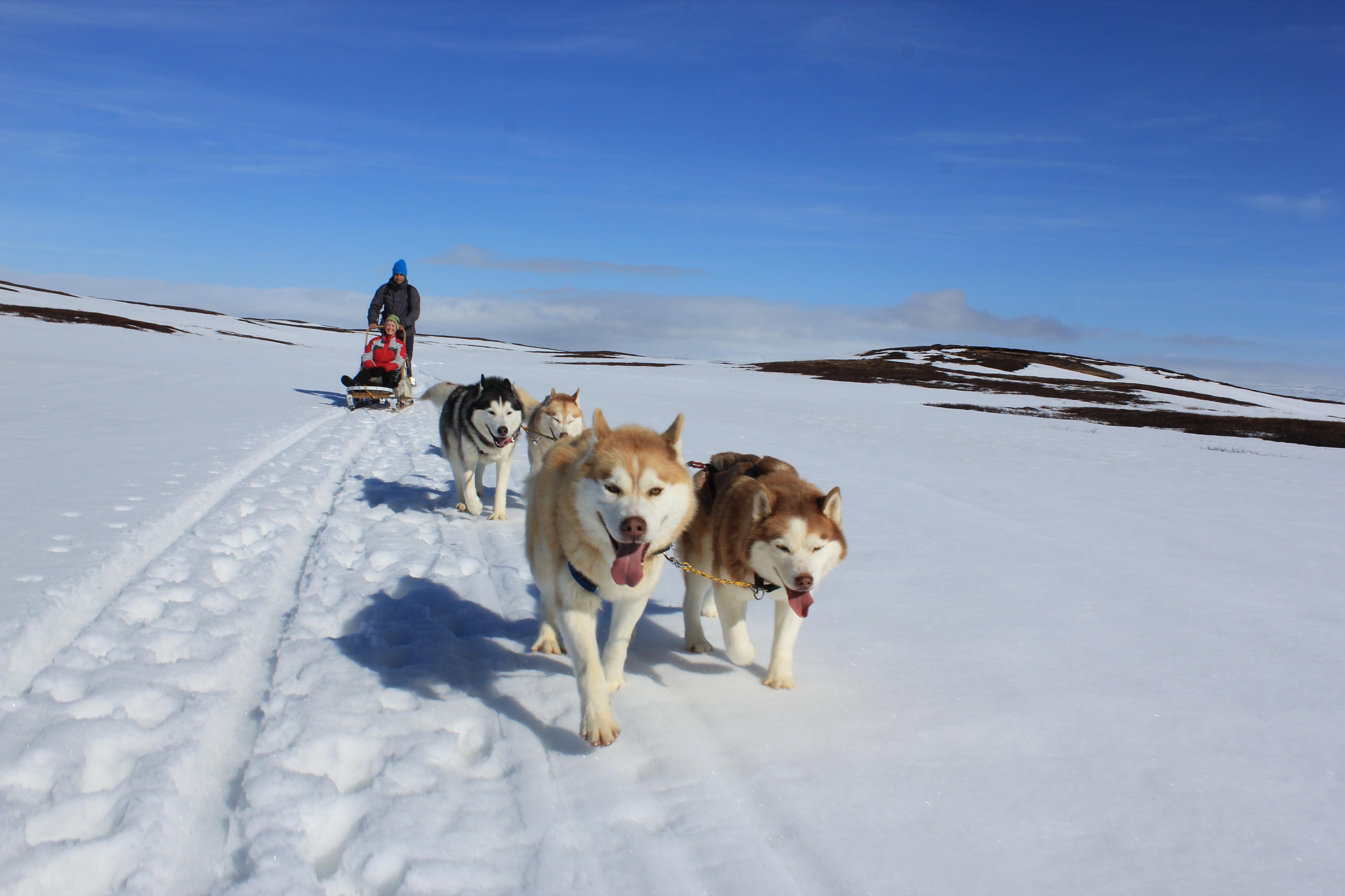 Schiet voortgetrokken door een team Siberische Husky's over het IJslandse platteland