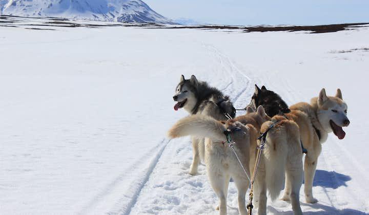 Sibirisk slædehundetur   Hundeslædekørsel i Mývatn-området