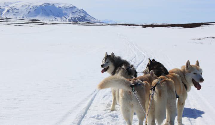 Tur med siberian husky   Hundsläde i Mývatn-området