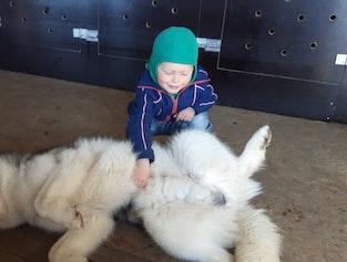 Visit a Dog Sled Kennel on an Icelandic Farm   Lake Mývatn Area