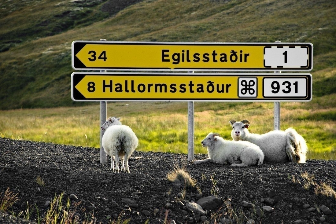 An Icelandic road sign guarded by sheep. / Photo from: Regent Holidays