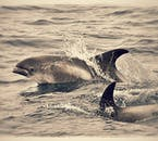 White beaked dolphins are the most frequently seen species around Iceland.