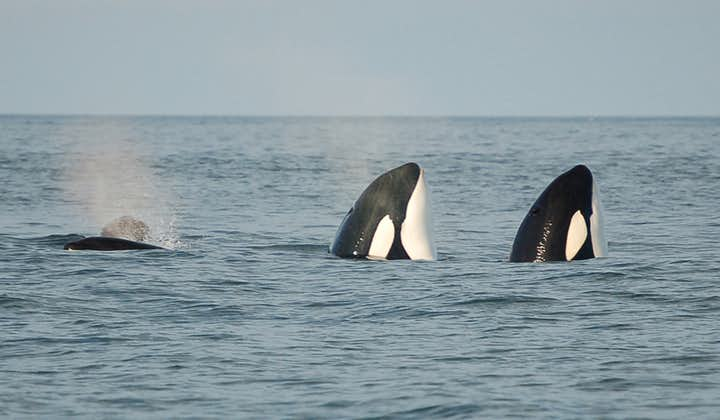The best place in Iceland to see orcas is the Westman Islands.