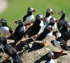 Auf den Westmännerinseln nisten weltweit die meisten Papageientaucher.
